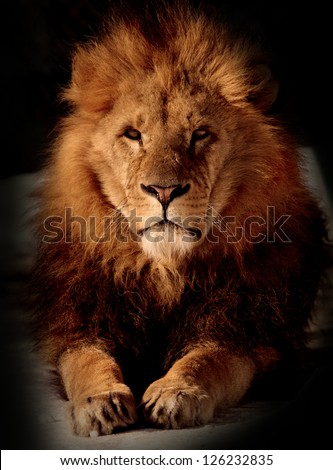 relaxed lion