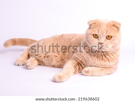 Relaxed scottish fold cat laying on the white background
