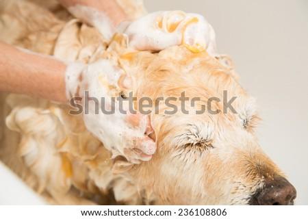 Relaxing bath foam to a Golden Retriever dog - stock photo