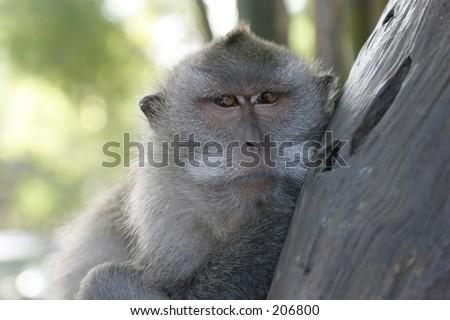 Relaxing monkey, Sanur, Bali - stock photo