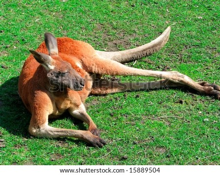 Relaxing Red Kangaroo - stock photo