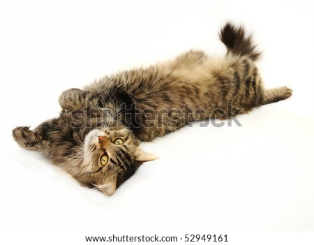Relaxing tabby cat lying on her back and staring ahead on the white background - stock photo
