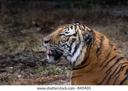 Relaxing tiger - stock photo