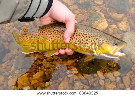 Releasing a Brown Trout caught on the White River of Arkansas