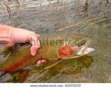 Releasing a Rainbow Trout, fly fishing on the Green River - stock photo