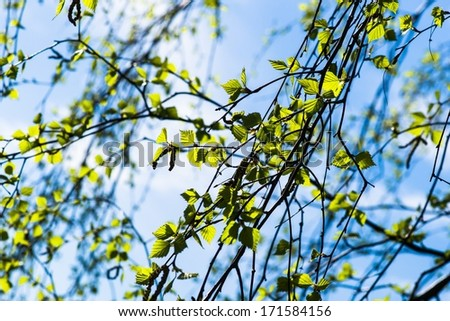 Remember The Spring. Birch tree twigs and fresh leaves against the spring sun and blue sky. Late autumn, gloomy and cold weather, no sun.  - stock photo