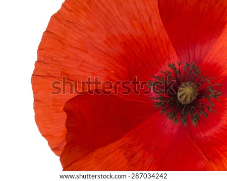 Remembrance Day poppy macro closeup. Isolated on white. Papaver rhoeas, red corn aka Flanders poppy. - stock photo