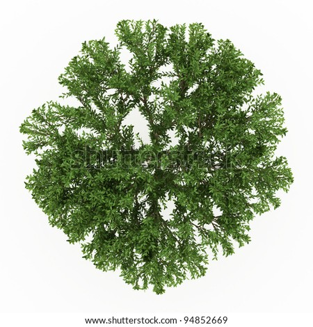Rendered 3d Schinus terebinthifolius isolated over white