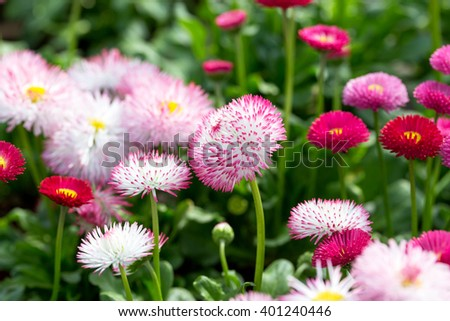 Repeated white, pink and red flowers of daisies, selective focus. Beautiful flower  - stock photo