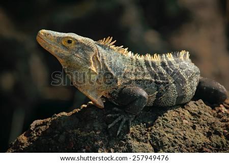 Reptile Black Iguana, Ctenosaura similis, sitting on black stone - stock photo
