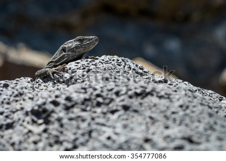 Reptile from Tenerife in Canary Islands on El Teide vulcan, hidden on the rocks