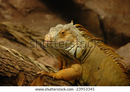Reptile in captivity - stock photo