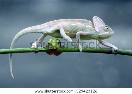 reptiles animal chameleon frog - photo #37