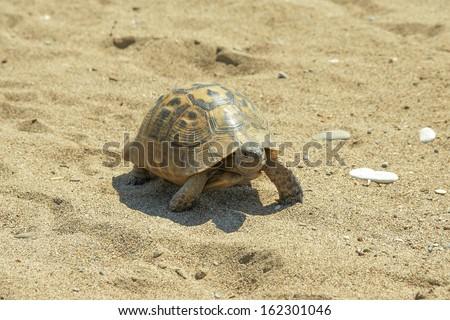 reptile turtle desert animal slow speed sea sand - stock photo