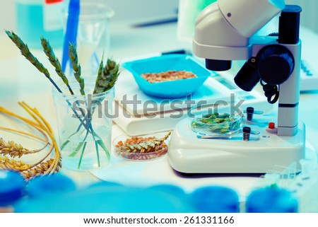 Research of GMO wheat in the laboratory - stock photo