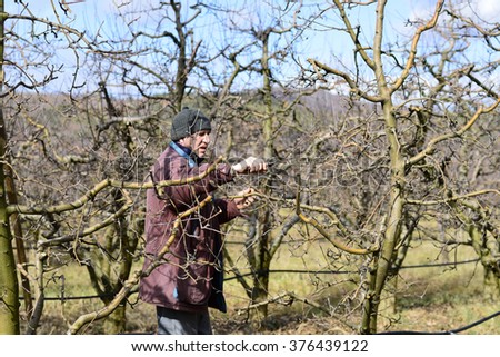 RESEN, MACEDONIA. FEBRUARY 13,  2016- Farmer pruning apple tree  in orchard in  Resen, Prespa, Macedonia. Prespa is well known region in Macedonia  on producing high quality apples.