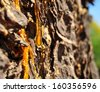 Resin Drop on a Conifer Tree Trunk - stock