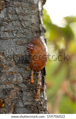 resin on the tree in nature. macro