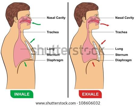 respiration inhalation exhalation stock illustration 108606032 rh shutterstock com comparing inhalation and exhalation diagram Diagram of Anerobic Respiration