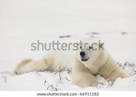 Rest of polar bears.  Two polar bears have a rest in an undersized bush. Snow-covered tundra.
