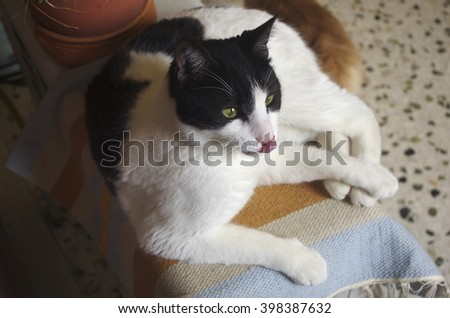 Resting cat licking its nose - stock photo