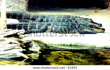 Resting Crocodiles - stock photo