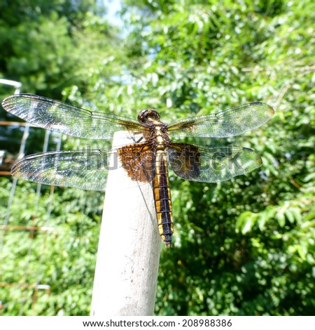 Resting dragonfly, rear view - stock photo