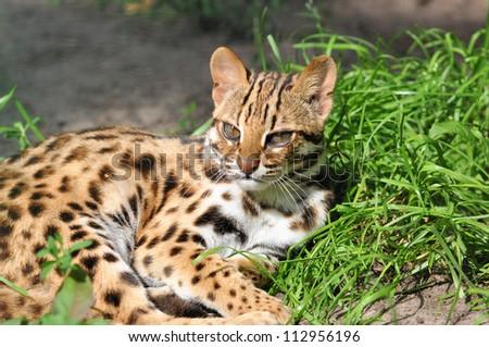 Resting Leopard cat (Prionailurus bengalensis) - stock photo