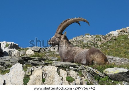 Resting male alpine ibex with big horns - stock photo