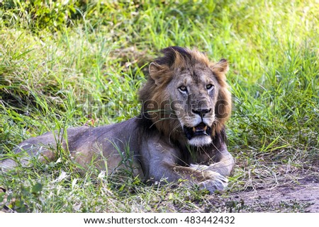 Resting Male Lion  Tanzania  Africa