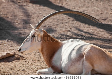 resting Scimitar Oryx - stock photo