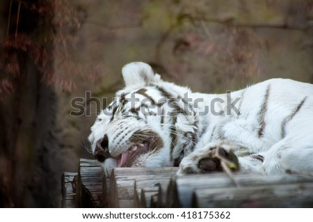 Resting, sleeping white tiger with sticking tongue - stock photo