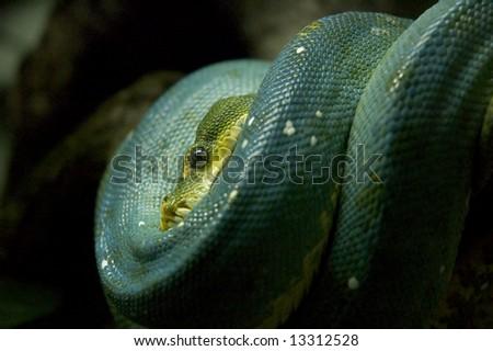 Resting snake - stock photo
