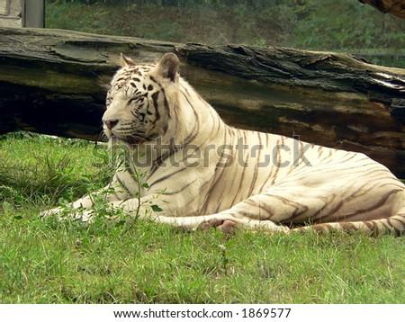 Resting white siberian tiger - stock photo