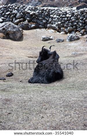 Resting yak, Everest trek, Himalaya, Nepal - stock photo