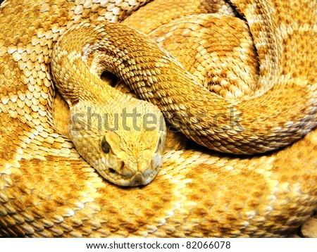 Resting Yellow Snake - stock photo