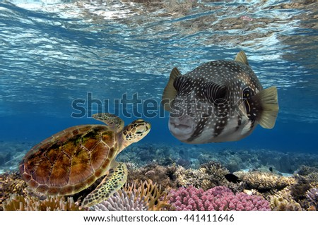 Reticulate boxfish and turtle underwater on reef background looking at you