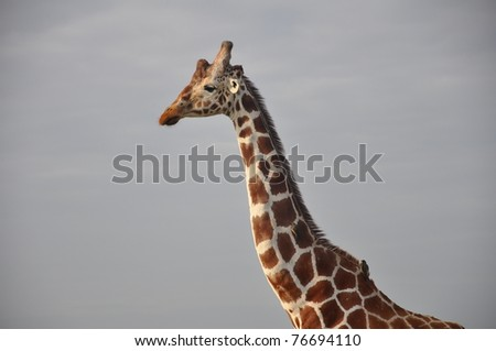 Reticulated giraffe and oxpecker birds in Kenya