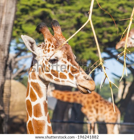 Reticulated giraffe (Giraffa camelopardalis reticulata) is a subspecies of giraffe native to Somalia, southern Ethiopia, and northern Kenya. - stock photo
