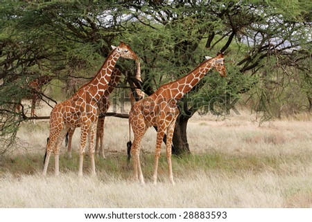 Reticulated Giraffes in Buffalo Springs National Park Kenya Africa - stock photo