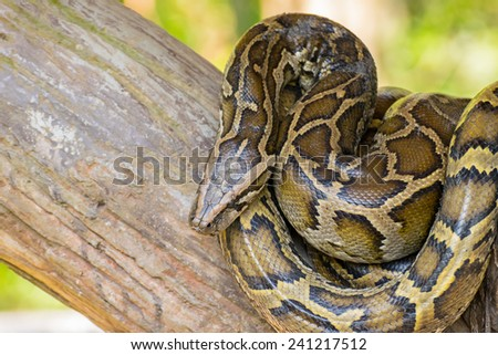Reticulated python or Python reticulates - stock photo