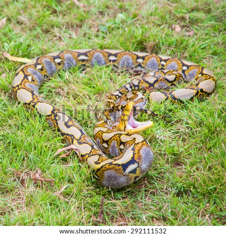 Reticulated Python snake attack - stock photo