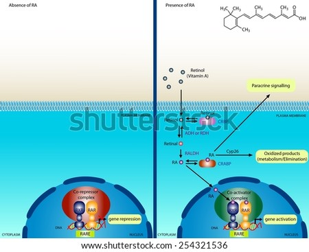 Retinoic acid signaling pathway - stock photo