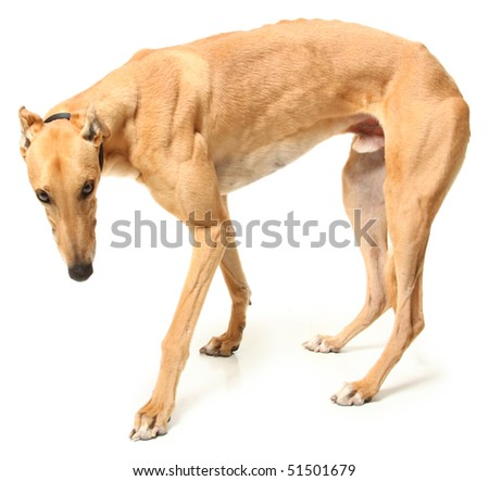 Retired greyhound racer over white background.