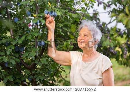 Retiree woman checks plums - stock photo