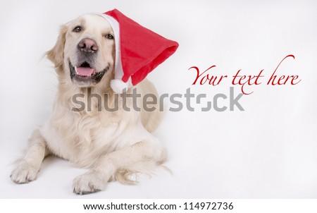 Retriever Christmas card - stock photo