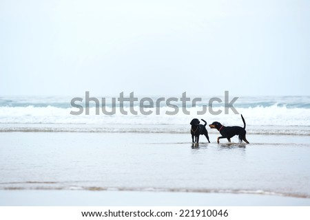 Retriever labrador and doberman playing together on the beach, beautiful dogs on beach walk, walk for dogs, beautiful black dogs - stock photo