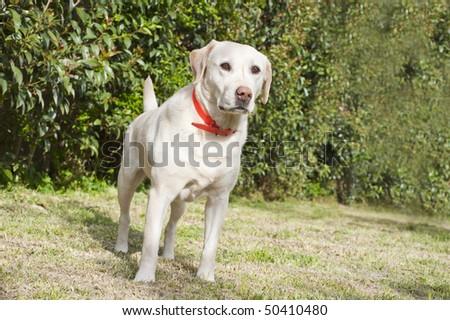 Retriever Labrador dog in the garden - stock photo