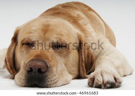 Retriever Labrador dog of a yellow ivory creme shade in studio