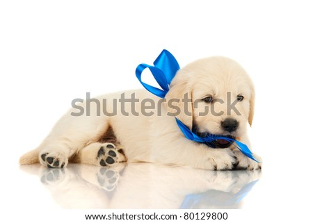 Retriever puppy chewing on tape